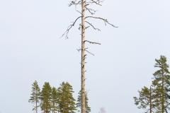 Ett gammalt träd