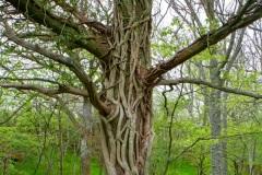 Mystiskt träd Stenshuvuds nationalpark